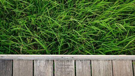 rice field against against wood walkpath