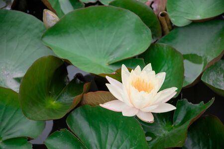 close up of lotus blossom against green leaf in background
