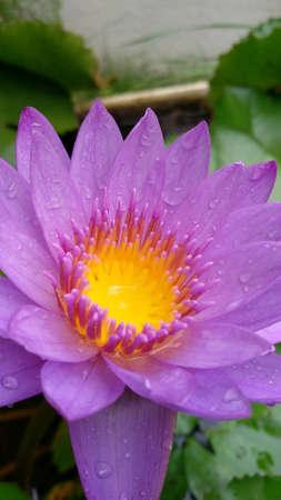 Lotus flower Stok Fotoğraf