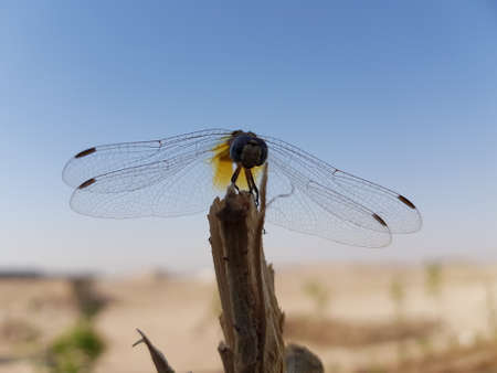 beautiful dragonfly stands on a branch in the desert, Karbala city, Iraq.