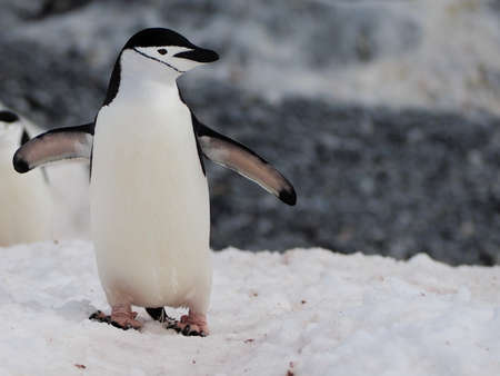 Chinstrap penguin on Halfmoon Island in Antarctica Stock Photo