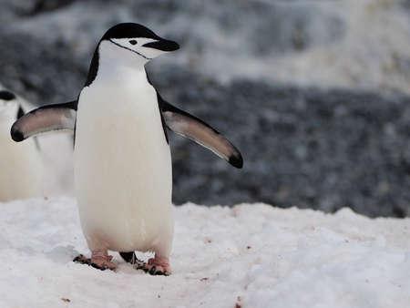 Zügelpinguin auf Half Moon Island in der Antarktis
