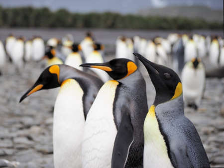 south georgia: King Penguins in Salisbury Plain in South Georgia Antarctica