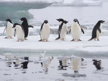 antarctic: Adelie penguins floating ice sheet Antarctic Peninsula