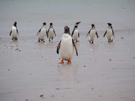 pygoscelis papua: gentoo penguin on rock on Falklands