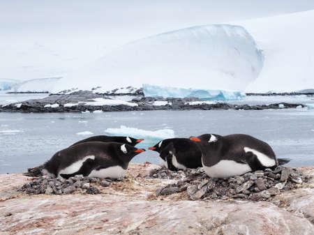 gentoo penguin: Gentoo penguin in Antarctica Port Lockroy