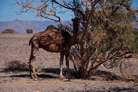 nabatean: Camel close to the Highway in Saudi Arabia