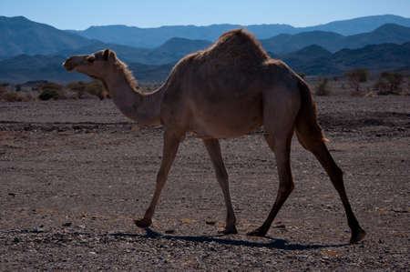 grave site: Camel close to the Highway in Saudi Arabia