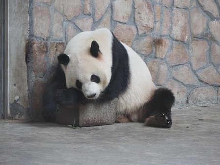 south sichuan: Giant Panda in breeding research base in Chengdu Sichuan province China Stock Photo