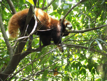 south sichuan: Red Panda on tree in breeding research base in Chengdu Sichuan province China