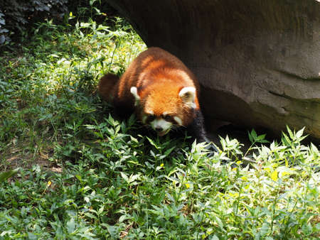 bearcat: Red Panda standing on the ground in breeding research base in Chengdu Sichuan province China