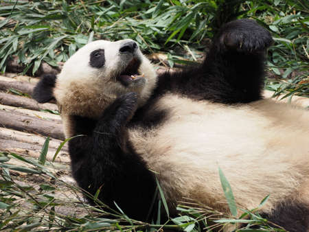 rare animals: Giant Panda eating bamboo in breeding research base in Chengdu Sichuan province China