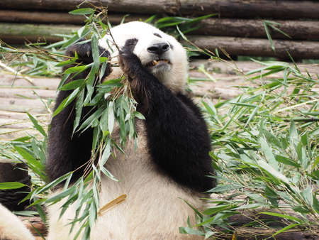 rare animals: Giant Panda in breeding research base in Chengdu Sichuan province China Stock Photo