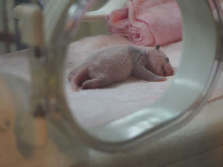south sichuan: Giant Panda babies cubs in breeding research base in Chengdu Sichuan province China Stock Photo