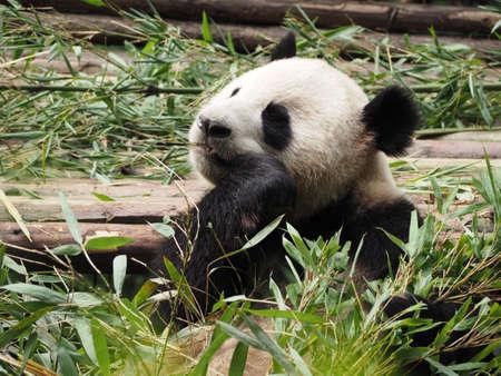 south sichuan: Giant Panda eating bamboo in breeding research base in Chengdu Sichuan province China