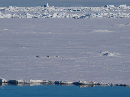 floe: Adelie Penguins moving forward on their bellies on Ice Floe in Antarctica Stock Photo