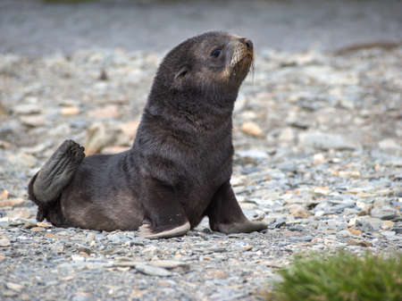south georgia: Baby fur seal laying on stone beach in South Georgia Antarctica Stock Photo