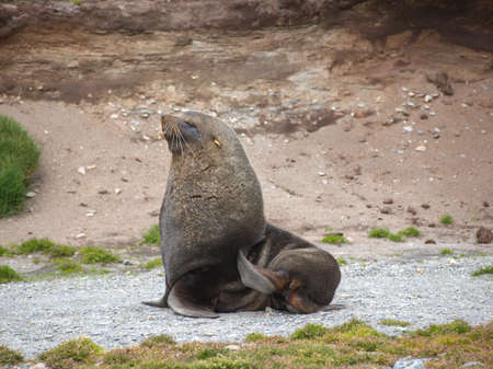 south georgia: Antarctic fur seal laying on rocky beach in South Georgia Antarctica