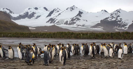 penguin colony: King penguin colony standing in front of mountains and glacier on Salisbury Plain in South Georgia Antarctica Stock Photo