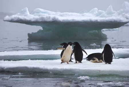 weddell: Adelie Penguins standing on Ice Floe in Antarctica ready to jump into the water