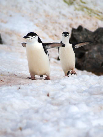 weddell: Chinstrap Penguins walking around on Halfmoon Island in Antarctica cooling their blood through their wings Stock Photo