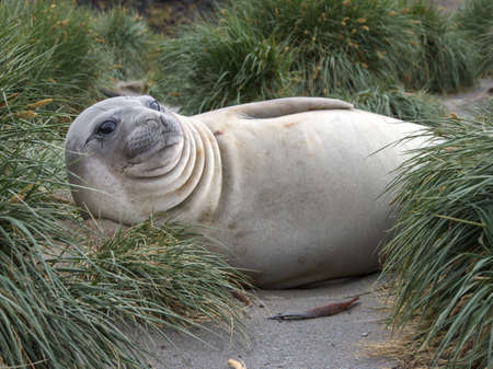 molting: Southern elephant seals molting their skin in South Georgia Antarctica