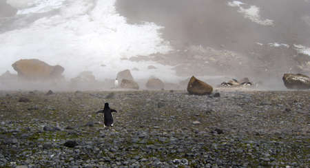 weddell: Lonely adelie penguin walking from the beach to its colony in Antarctica