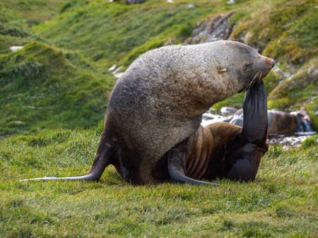 blubber: Antarctic fur seal laying on grass and scratching its face with its fin in South Georgia Antarctica