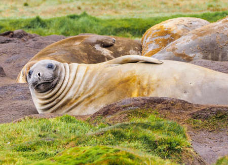 south georgia: Southern elephant seals molting their skin in South Georgia Antarctica