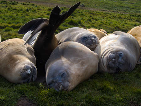 molting: Southern elephant seals laying on grass and molting their skin in Grytviken, South Georgia Antarctica