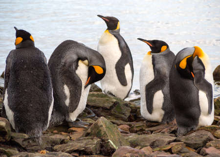 king penguins: King penguins standing near a rocky beach in South Georgia Antarctica