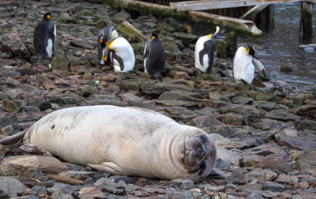 south georgia: Southern elephant seal smiling and relaxing at beach with king penguins in South Georgia Antarctica Stock Photo