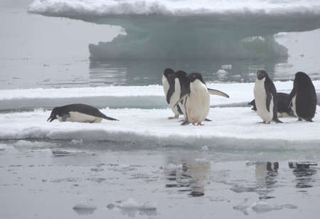 floe: Adelie Penguins standing on Ice Floe in Antarctica ready to jump into the water