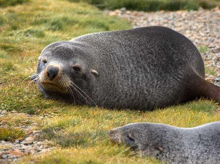 south georgia: Antarctic fur seal laying on stone beach in South Georgia Antarctica