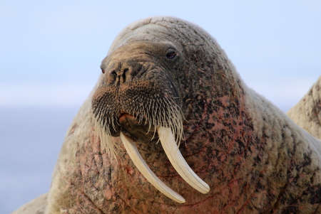 ice floe: Walrus showing its tusks on ice floe in Canada Stock Photo