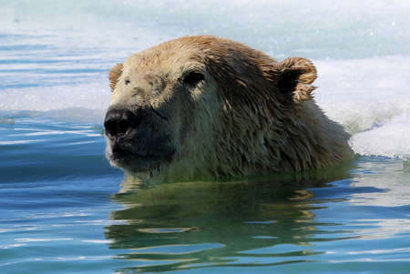 shake off: Swimming polar bear near ice floe in Arctic sea Stock Photo