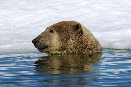 shake off: Polar bear near ice floe in Arctic sea Stock Photo