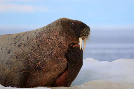 tusks: Walrus showing its tusks on ice floe in Canada Stock Photo