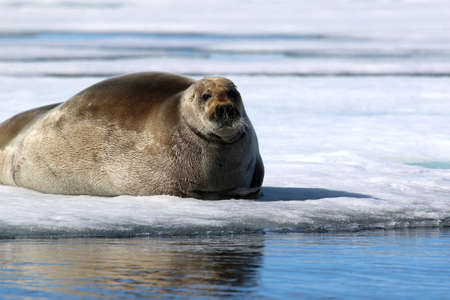 Walrus showing its tusks on ice floe in Canada Stock Photo