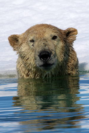polar bear on ice: Polar bear near ice floe in Arctic sea Stock Photo