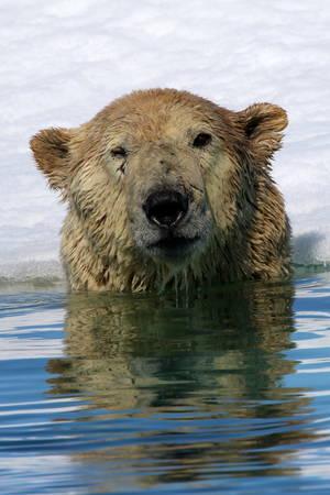 Polar bear near ice floe in Arctic sea Stock Photo