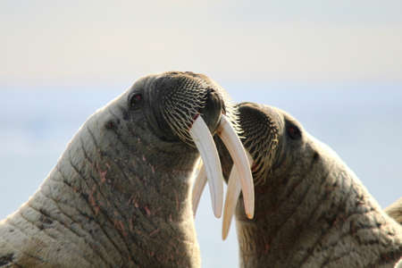 Two walruses fighting with their tusks on ice floe in Canada