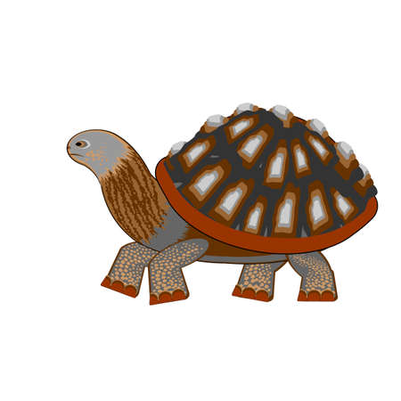 herpetology: A turtle on a white background. Vector-art illustration