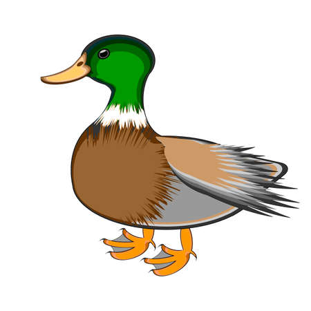 A duck on a white background.