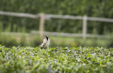 Sparrow perched on a bush in a English Garden