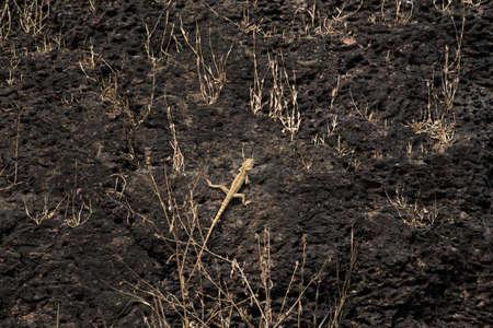 desert lizard: Common Side-Blotched Lizard in the Desert