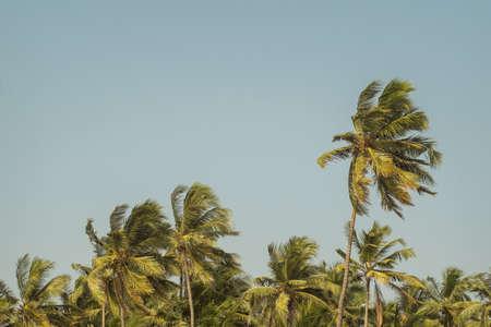bark of palm tree: Palm trees on the blue sky Stock Photo