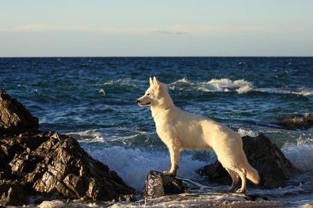 Pastore svizzero bianco in riva al mare