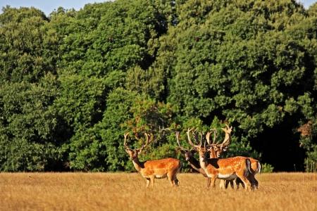 Wild deers in Brioni, croatian island