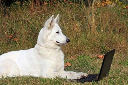 cane bianco al lavoro sul portatile